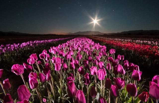 Vista nocturna del campo de tulipanes en Trevelin, Chubut.