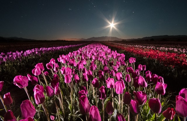 Vista nocturna del campo de tulipanes