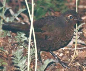 Huet huet castaño, foto de frente del ave.