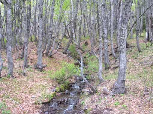 Bosque de roble pellín en la reserva de las lagunas Epulafquen.