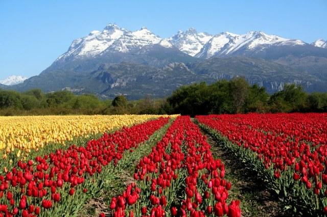 Filas de tulipanes de colores rojo y amarillo con las montañas de fondo y los picos nevados. Otra de las maravillas ocultas de Chubut.