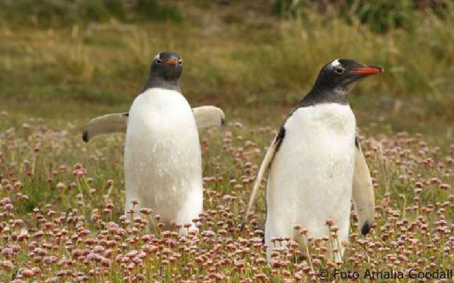 Pareja de pinguinos caminando en la isla Martillo