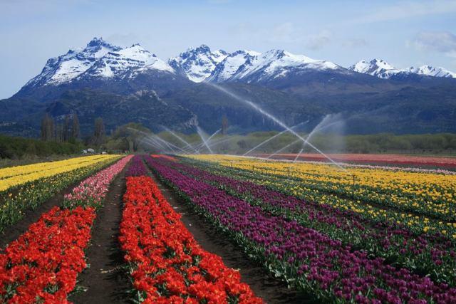 Campo de tulipanes en Trevelin, otro de los destinos más buscados pospandemia.