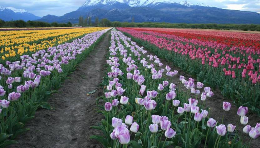 Filas de tulipanes con pasillos en medio y montañas de fondo