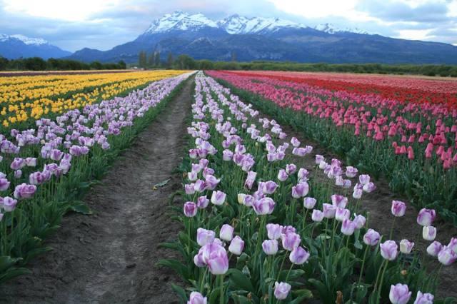 Filas con flores de colores con pasillos en medio y montañas de fondo.
