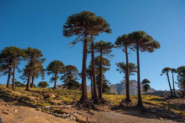 Ruta del Pehuén, árboles de frente dentro del Área Natural Protegida Copahue.