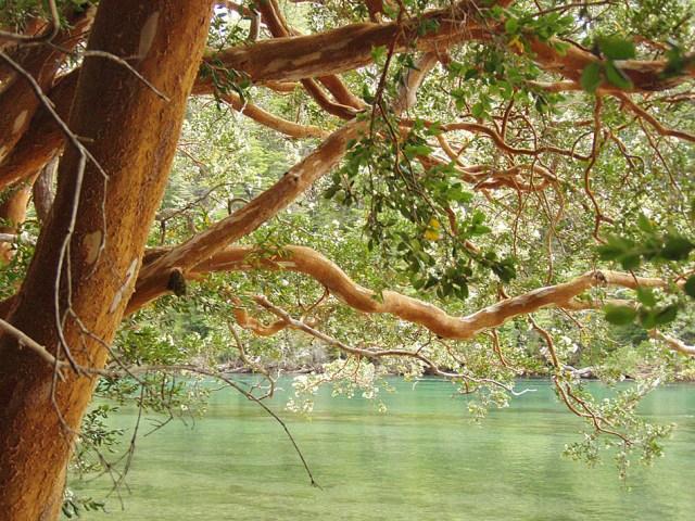 Arrayán a la vera del río, dentro del Parque Nacional Arrayanes