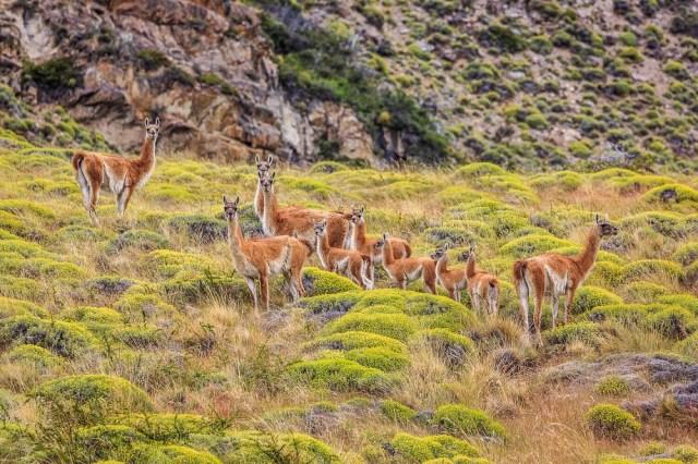 Día del Animal. Grupo de guanacos en la estepa