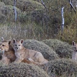 familia de pumas en la Patagonia.