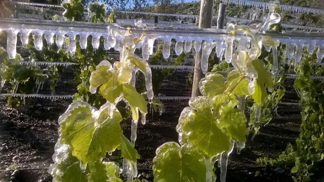 Uvas que se transformarán en vino patagponico.