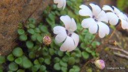Ourisia pygmaea