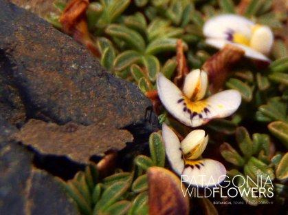 Leguminosae-Adesmia-parvifolia-patagonia-botanical