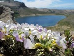 Viola-cotyledon