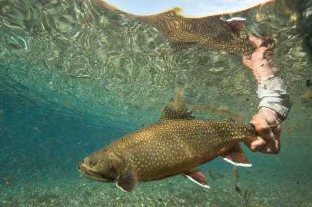 Patagonia Fly Fisherman - Brook Trout