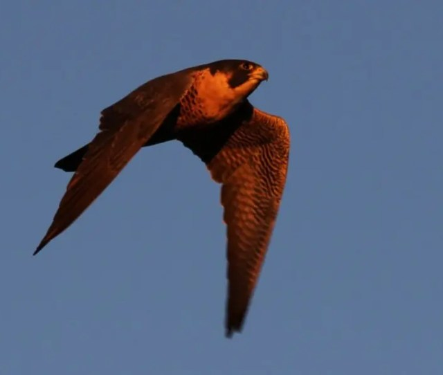 The Peregrine Falcon The Fastest Animal On The Planet