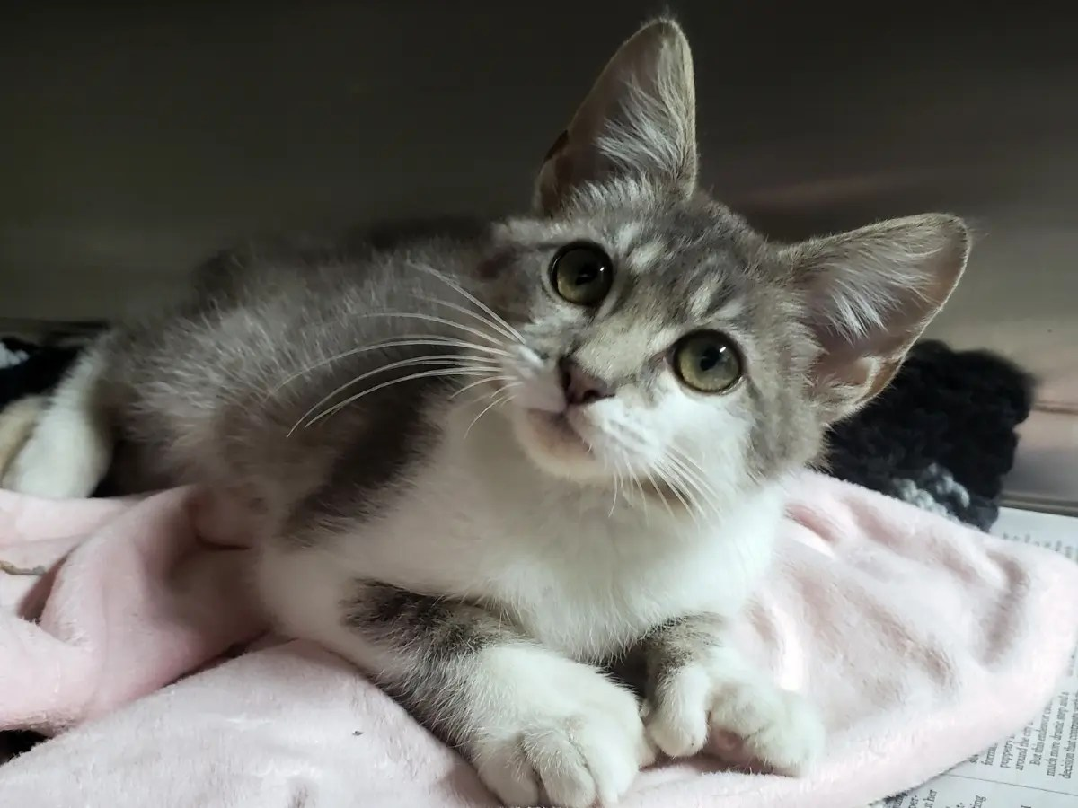 Meet One Of Our Adorable Adoptable Kittens