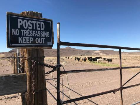 Cattle graze at the 7J Ranch northeast of Beatty on Feb. 8, 2019. Henry Brean Las Vegas Review-Journal