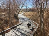 G.G. the dog trots along the on boardwalk at The Nature Conservancy's Torrance Ranch Preserve north of Beatty on Feb. 8, 2019. Henry Brean Las Vegas Review-Journal