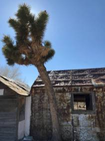 A Joshua tree grows next to an old, tin-covered outbuilding at the 7J Ranch northeast of Beatty on Feb. 8, 2019. Henry Brean Las Vegas Review-Journal