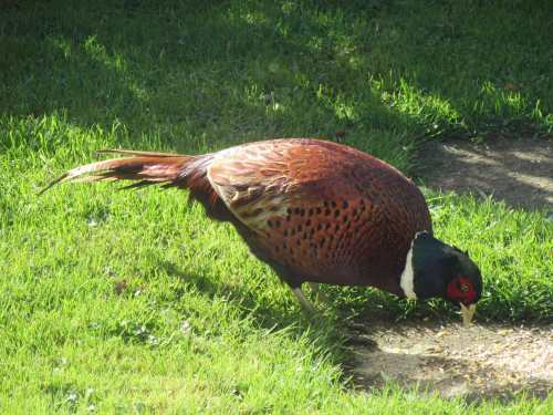 Pheasant in my garden by Allison Reid