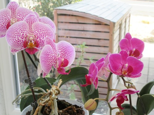 Orchids on my windowsill by Allison Reid