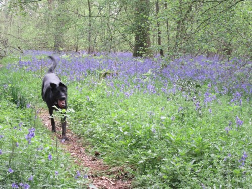 Holly in the Bluebells by Allison Reid