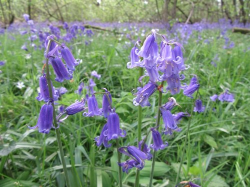 Bluebells close up by Allison Reid
