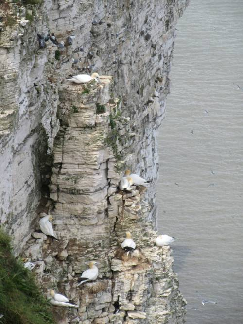 Bempton Cliffs Gannets by Allison Reid