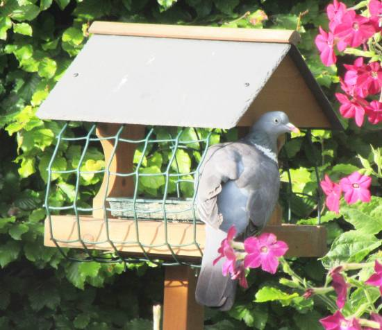 Woodpigeon on bird table by Allison Reid