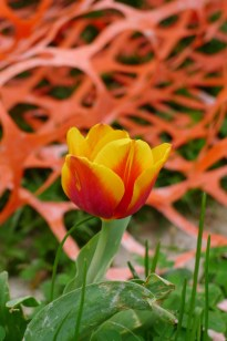 construction orange tulip