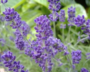 800px-English_Lavender