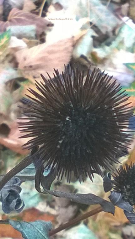 Sleeping cone flower 2