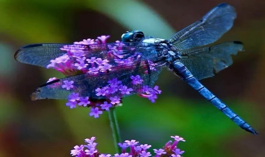 la libellule animal totem