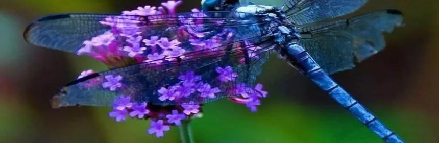 belle libellule