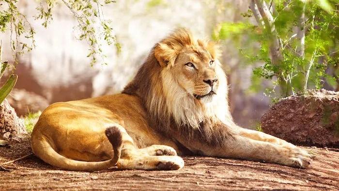 le lion animal totem