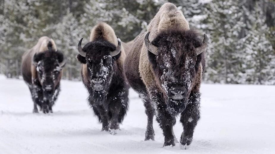Animal totem le bison : symbolisme