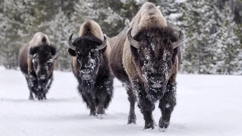 animal totem bison