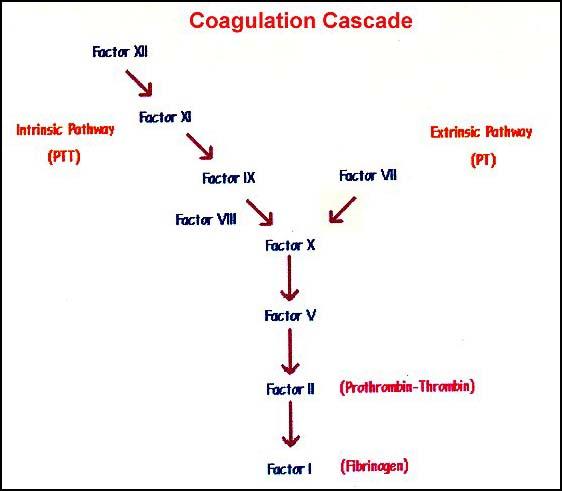 Extrinsic Coagulation Cascade