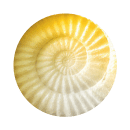 żółto-skorupa