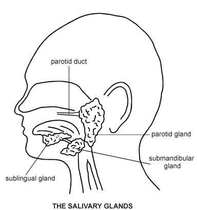 Salivary Glands | Diagram | Patient