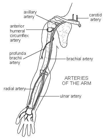 Arteries Of The Arm | Diagram | Patient