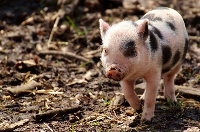 Scientists Have Created Pigs with Huntington's Disease to Test CRISPR Technology