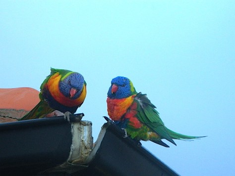 Her cousin Rainbow Lorikeet taking in the sights at St Kilda beach image by Kerrie Pacholli © pationpics.com