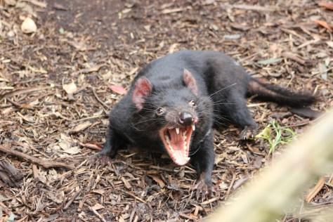 Tasmanian Devil at Healesville Sanctuary image by Kerrie Pacholli © pationpics.com