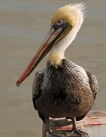 Brown Pelican Bird in harbor at Morro Bay California with colorful plumage portrait