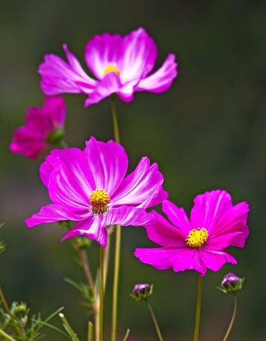 Images of Flowers: Cosmos
