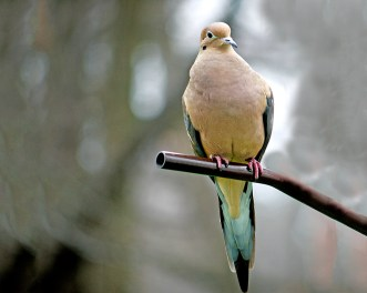 Mourning Dove Perched