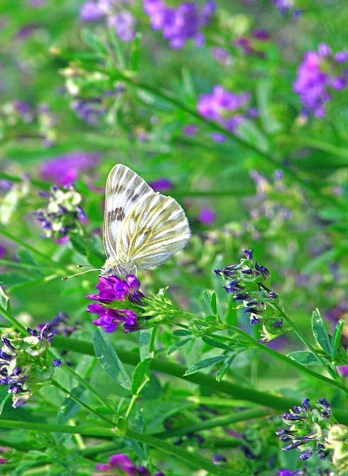 Images of Flowers: Moth on Lupine