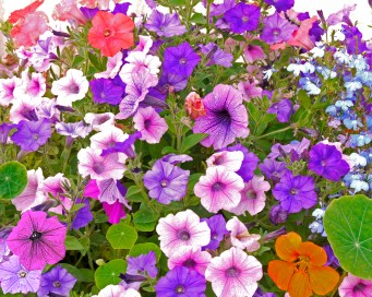 Images of Flowers: Petunias