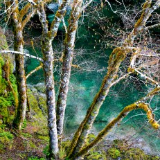 Smith River alder